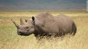 Western Black Rhino From CNN article